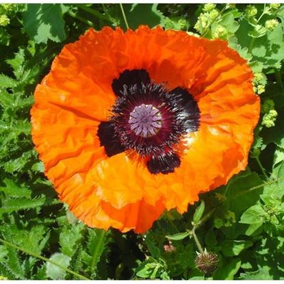 Mixed Poppy