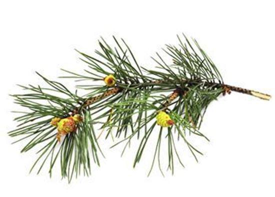 Pine (Needle) Oil